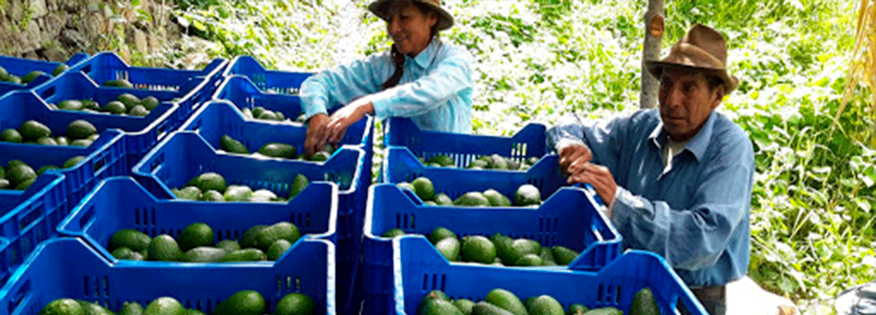 Cusco exportó 29 toneladas de Palta Hass