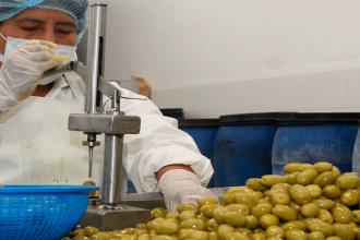 Producción peruana de aceituna caería a mitad de este año