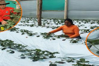 Cusco: Comunidad de Ccapi emprende exitoso proyecto en la producción flores y fresas
