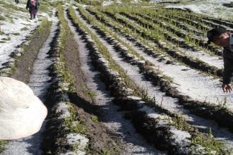 Granizada afecta cultivos en zonas altas de la región Cusco