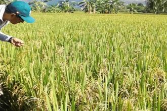 INIA pone a disposición nueva variedad de arroz de alta productividad en el Perú