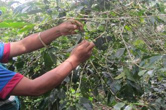 Unas 60.000 hectáreas de café se reconvirtieron en tres años