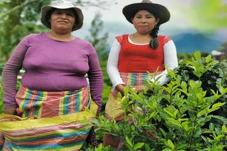 ENACO SA. Inicia acopio de hoja de coca en La Convención.