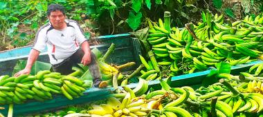 Ucayali: Devida, transfiere más de 580 mil soles para mejorar la producción de plátano.