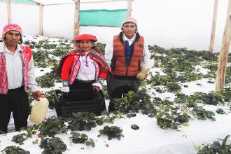 EN CALCA: Grupo de mujeres impulsan producción de fresas en las comunidades campesinas Quenquo , Sihua y Patabamba.