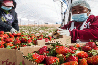 En enero Perú incrementó exportación de fresas a EE.UU, Canadá y Japón