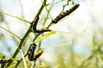Madre de Dios: Plagas de gusanos asolan plantaciones de yuca